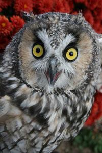 Long-eared-Owl-Jet
