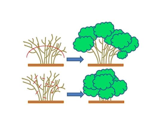 spring shrub prune diagram
