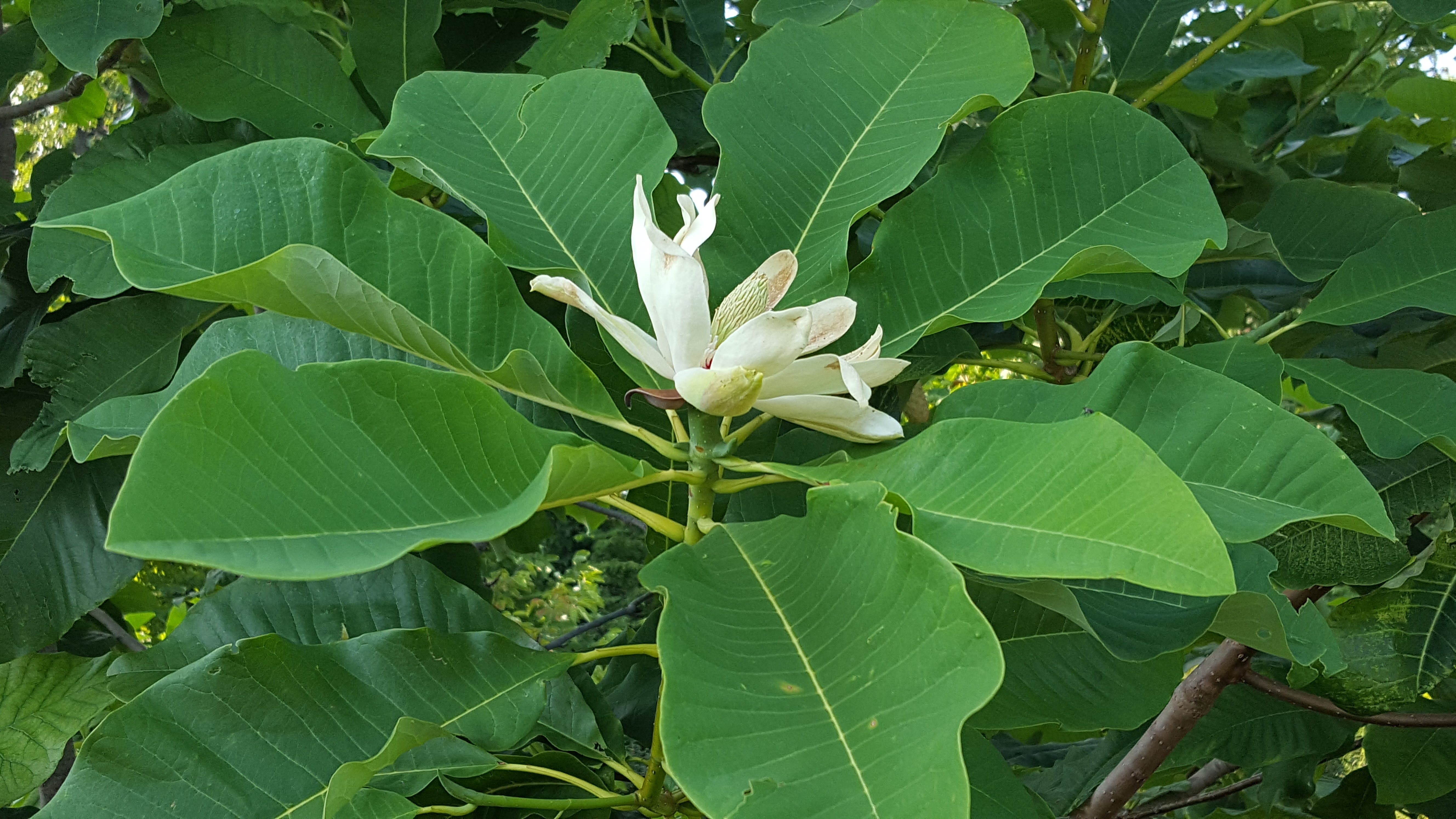 Cucumber Magnolia What Wellfield Botanic Gardens