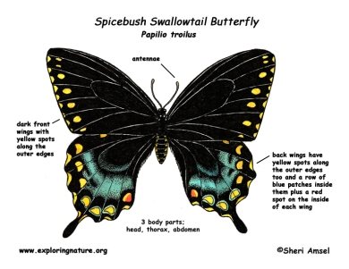 butterfly_spicebush_swallowtail_diagram